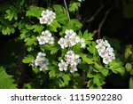 close up of white blossoms of a ... | Shutterstock . vector #1115902280