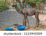 a baby camel with a form of... | Shutterstock . vector #1115945309