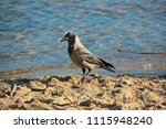 Small photo of Hooded crow foraging on a lake in Berlin Spandau.Carrion crows are omnivores and feed on seeds, insects, eggs, meat and human waste.