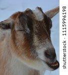 the domestic goat  capra...   Shutterstock . vector #1115996198