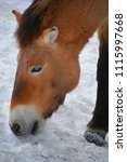 przewalski's horse or...   Shutterstock . vector #1115997668