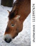 przewalski's horse or...   Shutterstock . vector #1115997674
