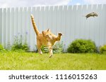 funny ginger cat catches mouse... | Shutterstock . vector #1116015263