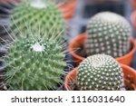 small cactus in mini pot in the ... | Shutterstock . vector #1116031640