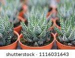 small cactus in mini pot in the ... | Shutterstock . vector #1116031643