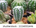 small cactus in mini pot in the ... | Shutterstock . vector #1116031646