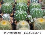small cactus in mini pot in the ... | Shutterstock . vector #1116031649