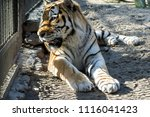 amur tiger with orange and... | Shutterstock . vector #1116041423