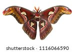 Male giant atlas silk moth ...