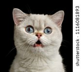Stock photo funny portrait of surprised british breed cat white color with blue eyes amazement stare in camera 1116081893