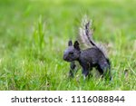 Black Squirrel Is Looking For...