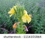Small photo of Close up of the yellow flowers of Oenothera biennis (common evening-primrose, evening star, sun drop, weedy evening primrose, German rampion, hog weed, King's cure-all, or fever-plant). Poland, Europe