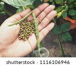 green bean plant on hand | Shutterstock . vector #1116106946