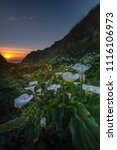wild calla lilly during sunset  ... | Shutterstock . vector #1116106973