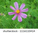 top view close up of the pink...   Shutterstock . vector #1116110414
