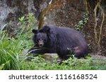 formosan black bear  ursus...   Shutterstock . vector #1116168524
