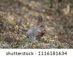 Small photo of squirrel [Sciurus] on forest ground