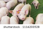 pink pigs on the farm  dirty... | Shutterstock . vector #1116203528