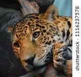 the amur leopard is a leopard...   Shutterstock . vector #1116237578