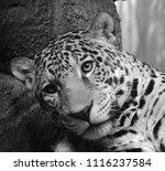 the amur leopard is a leopard...   Shutterstock . vector #1116237584