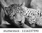 the amur leopard is a leopard...   Shutterstock . vector #1116237590