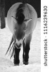 przewalski's horse or...   Shutterstock . vector #1116239630