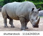 white rhinoceros or square...   Shutterstock . vector #1116243014