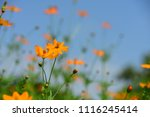 colorful cosmos flowers with...   Shutterstock . vector #1116245414