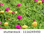colorful cosmos flowers with...   Shutterstock . vector #1116245450