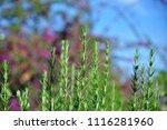 rosemary leaves close up. fresh ...   Shutterstock . vector #1116281960