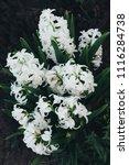 bright white flower hyacinth in ... | Shutterstock . vector #1116284738