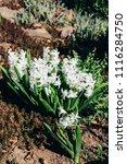 bright white flower hyacinth in ...   Shutterstock . vector #1116284750