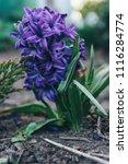 bright white flower hyacinth in ... | Shutterstock . vector #1116284774