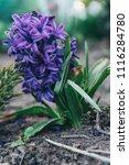 bright white flower hyacinth in ... | Shutterstock . vector #1116284780