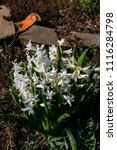 bright white flower hyacinth in ... | Shutterstock . vector #1116284798