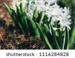 bright white flower hyacinth in ... | Shutterstock . vector #1116284828