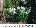 bright white flower hyacinth in ... | Shutterstock . vector #1116284834