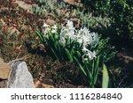 bright white flower hyacinth in ... | Shutterstock . vector #1116284840