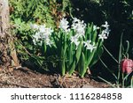 bright white flower hyacinth in ... | Shutterstock . vector #1116284858