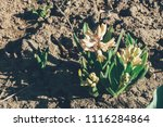 bright white flower hyacinth in ... | Shutterstock . vector #1116284864