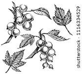 hand drawn black currant sketch ... | Shutterstock .eps vector #1116334529