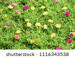 colorful cosmos flowers with...   Shutterstock . vector #1116343538