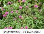 colorful cosmos flowers with...   Shutterstock . vector #1116343580