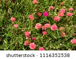 colorful cosmos flowers with...   Shutterstock . vector #1116352538