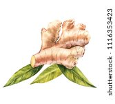 hand drawn ginger watercolor... | Shutterstock . vector #1116353423