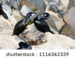 Cormorants In Mating Plumage...