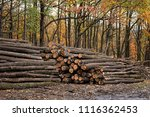 the felled trees in autumn... | Shutterstock . vector #1116362453