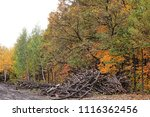 the felled trees in autumn... | Shutterstock . vector #1116362456