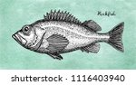 ink sketch of rockfish. hand... | Shutterstock .eps vector #1116403940