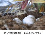 Small photo of Alligator hatchlings emerge. Newborn alligator near the egg laying in the nest. Little baby crocodiles are hatching from eggs. Baby alligator just hatched from egg.